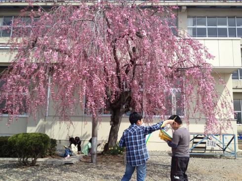 しだれ桜の観察