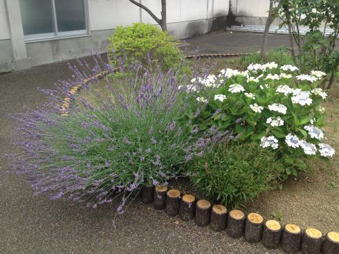 ラベンダー満開の中庭